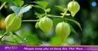 Đây là loại quả mà người Việt chỉ coi là cỏ dại, sang Nhật được tôn như thảo dược quý chữa đủ thứ bệnh, bán giá 700k/kg vẫn cháy hàng