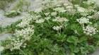 Cây dược liệu cây Bắc sa sâm, Sa sâm bắc - Glehnia littoralis Fr
