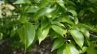 Cây dược liệu cây Đỗ trọng - Eucommia ulmoides Oliv