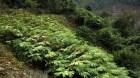 Bảo tồn hai loài dược liệu quý Ba kích và Sa nhân tím tại Thanh Hóa