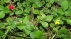 Cây Dâu núi, Dâu đất - Duchesnea indica (Andr.) Focke