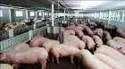 Không để dịch tả lợn châu Phi tái phát
