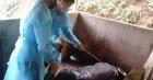 Bệnh dịch tả lợn châu Phi tái phát tại 20 tỉnh, thành, Bộ NN&PTNT ra văn bản khẩn