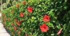 Bài thuốc quý từ cây hoa dâm bụt giúp chị em thoát cảnh khốn khổ vì rong kinh