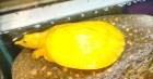 Sở hữu con ba ba có màu vàng óng hiếm thấy