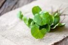Mách bạn cách chữa ho bằng rau má ngay trong vườn nhà