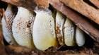 Thuốc tốt trị viêm phế quản từ Mật ong