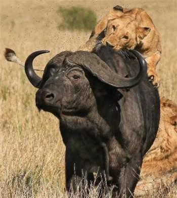 15 con sư tử đồng loạt đánh úp, trâu rừng chết thảm - 1