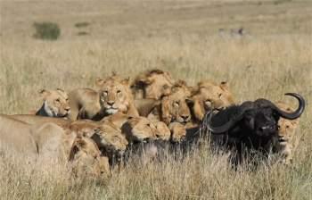 15 con sư tử đồng loạt đánh úp, trâu rừng chết thảm - 2