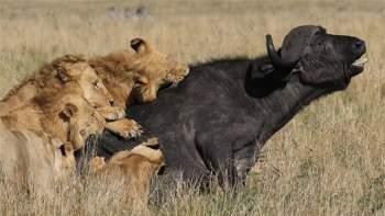 15 con sư tử đồng loạt đánh úp, trâu rừng chết thảm - 3