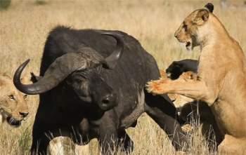 15 con sư tử đồng loạt đánh úp, trâu rừng chết thảm - 5
