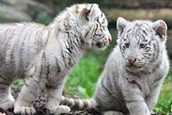 Cặp hổ trắng 11 tuần tuổi này đã chết ở vườn thú Lahore.
