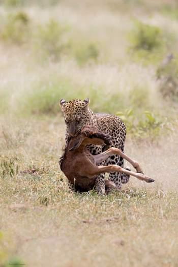 Sau đó, con báo nhanh chóng đưa xác linh dương con rời xa để từ từ thưởng thức bữa tiệc ngon miệng. Cảnh tượng này do anh Nadav Ossendryver ghi lại tại Vườn quốc gia Kruger ở Nam Phi.