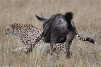 Được coi là kẻ săn mồi đáng sợ trong tư nhiên, nhưng báo đốm trong trường hợp đã trở thành kẻ bị săn.