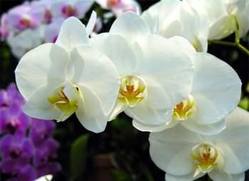 Kỹ thuật trồng hoa lan cần chút tỉ mỉ
