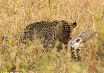 Sau một hồi đối đầu với quái thú ăn thịt, linh dương bị báo đốm mẹ giết chết bằng nhát cắn chí mạng ở cổ.