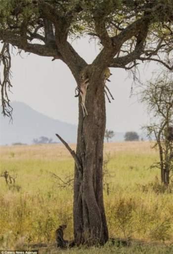 Sau một hồi vật vã, báo đốm mẹ đã tha xong xác con mồi lên tít trên ngọn cây.