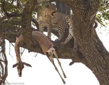 Xác linh dương vắt vẻo trên nhánh cây, còn hai mẹ con báo đốm rất hí hửng với món ăn mình vừa kiếm được.