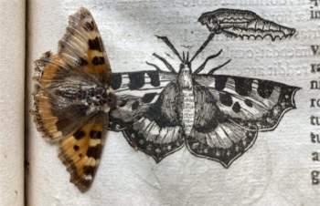Cánh bướm 400 năm tuổi vẹn nguyên trong sách cổ - 1