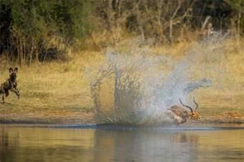 Khi bị bầy chó hoang truy sát, chú linh dương Impala kể trên đã quyết định lao xuống dòng sông Khwai để chạy trốn.