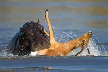 """Chỉ bằng một cú cắn duy nhất, con hà mã trưởng thành đã dễ dàng giết chết chú linh dương tội nghiệp. Sau đó, nó nhả xác đối thủ ra và những con cá sấu sinh sống gần đó liền nhanh chóng tiến tới để nhận lấy """"bữa tiệc"""" miễn phí."""