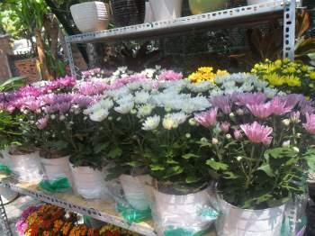 Kỹ thuật trồng hoa cúc không quá khó