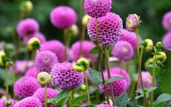 Kỹ thuật trồng cây hoa Thược dược có thể gieo bằng hạt, giâm cành hoặc trồng từ củ. Ảnh minh họa
