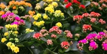 Màu sắc đa dạng, kỹ thuật trồng cây không quá khó khiến cây Sống đời trở thành một loại cây cảnh phổ biến