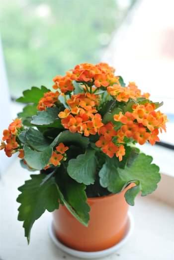 Chú ý một chút đến kỹ thuật trồng cây, Sống Đời sẽ cho hoa cả năm, tô điểm cho căn phòng
