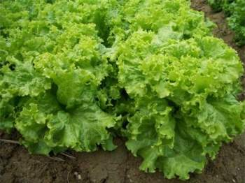 Kỹ thuật trồng rau xà lách xoăn cả nhà ăn mãi không hết. Ảnh minh họa