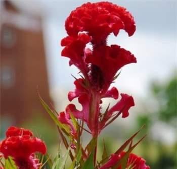 Kỹ thuật trồng cây, hoa mào gà cần chú ý tới điều kiện sinh trưởng