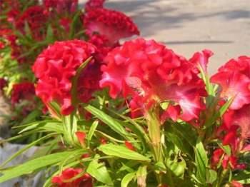 Chăm sóc đúng kỹ thuật trồng cây hoa mào gà sẽ cho nhiều hoa đẹp