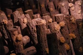 Loại nấm từng là cống phẩm cho vua chúa suốt 1000 năm, nay được lập cả bảo tàng riêng 3