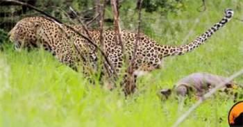 Trước khi hưởng thụ con mồi, con báo đốm dò xét xem xung quanh có kẻ nào đến tranh giành con mồi của mình không.