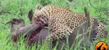 Con báo đốm bắt đầu thưởng thức con mồi của mình từ phần ngực trước.