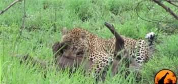 Khi thấy không có nguy hểm gì đối với bữa ăn thịnh xoạn của mình nữa, con báo đốm tiếp tục thưởng thức bữa ăn của mình.