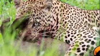 Nhưng với bản năng của kẻ săn mồi, con báo đốm đang thưởng thức con mồi nhưng cặp mắt sắc bén của nó vẫn liên tục quan sát động tĩnh xung quanh.