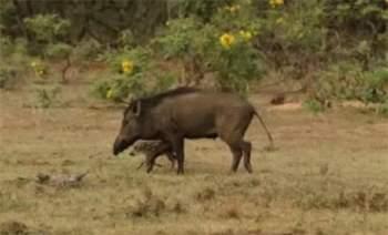 Lúc sau có hai mẹ con lợn rừng đi qua, con lươn rừng con đã lọt vào tầm ngắm của con báo đốm.