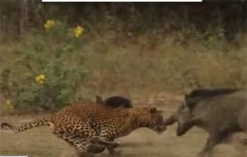 Con báo đốm lao ra từ trong bụi cây và dọa con lợn rừng mẹ tách ra khỏi con của nó.