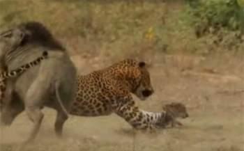 Sau đó nó lao đến bắt con mồi đã nhắm từ trước là con lợn rừng con.
