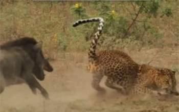 Con lợn rừng mẹ thấy vậy liền lao vào tấn công con báo đốm nhằm giải thoát cho con của mình.