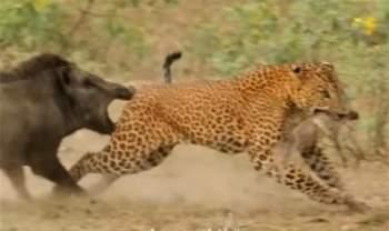 Con lợn rừng mẹ dùng đôi hàm răng nanh của mình để cắn vào chân sau con báo đốm để con sư tử thả con của mình ra.
