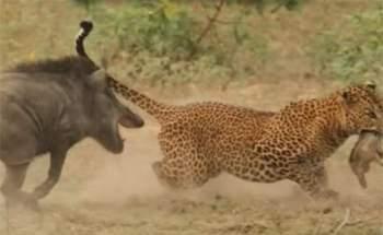 Con báo đốm vẫn quyết tâm giữ chặt con mồi của mình và chạy khỏi con lợn rừng mẹ đang điên vì mất đứa con.