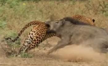 Con lợn rừng mẹ vẫn không chịu buông tha con báo đốm và quyết tâm chiến đấu để dành lại cho được đứa con của mình.