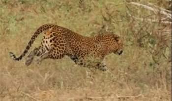 Cuối cùng con báo đốm đành phải buông tha con mồi của mình sau một đợt tấn công dữ dội của con lợn rừng mẹ.