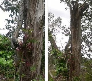 Con trăn khổng lồ đu mình trên cây 'xơi tái' con mồi 'khủng'