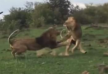 Thế nhưng, chính điều này lại khiến nó rơi vào tình huống nguy hiểm khi bị con sư tử lớn tuổi hơn và là đầu đàn tấn công.