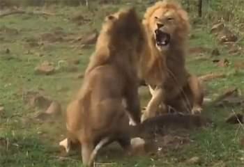 Được biết, toàn bộ cảnh tượng này được các du khách tình cờ khi lại được khi đang tham quan vườn quốc gia Maasai Mara ở Kenya.