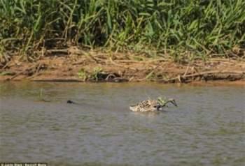 Vì con mồi ở xa nên trước hết nó phải tiếp cận mục tiêu bằng cách bơi đến chỗ con mồi với chiêu trò ngụy trang khá khéo léo.