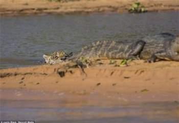 Cá sấu không hề biết đến sự hiện diện của kẻ thù.